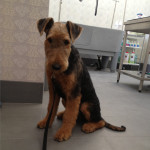 Airedale Terrier 9 luni 1