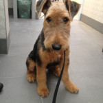 Airedale Terrier 9 luni